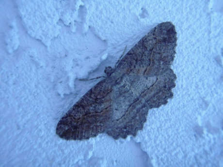 Moth Wall